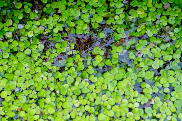 Kleine waterplanten die in het water drijven
