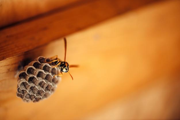 Kleine wesp beschermt zijn honingraten in macro.