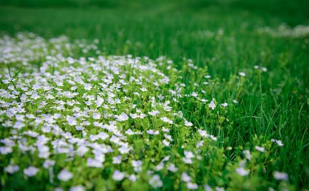 Kleine witte bloemen in een groen veld