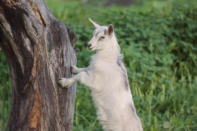Kleine witte geit jongen in een veld. kleine witte geit in gras