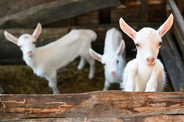 Kleine witte geiten die zich in houten schuilplaats bevinden