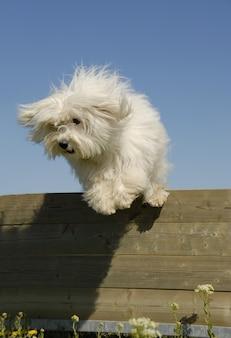 Kleine witte hond springen