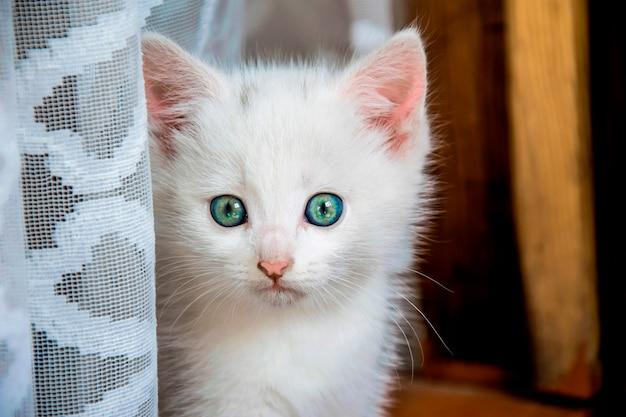 Kleine witte kitten met een angstige blik in de buurt van een wit gordijn thuis