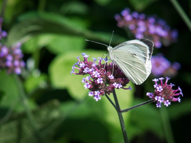 Kleine witte (pieris rapae) vlinder