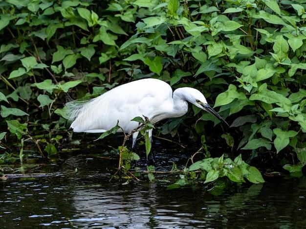 Kleine witte zilverreiger staande in het water in izumi forest park, yamato, japan