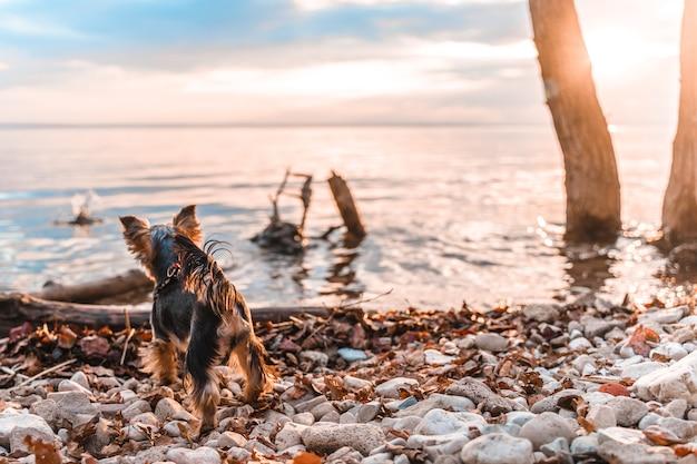 Kleine yorkshire terrier-hond staat op een rots met een prachtig uitzicht op de zonsondergang over de rivier