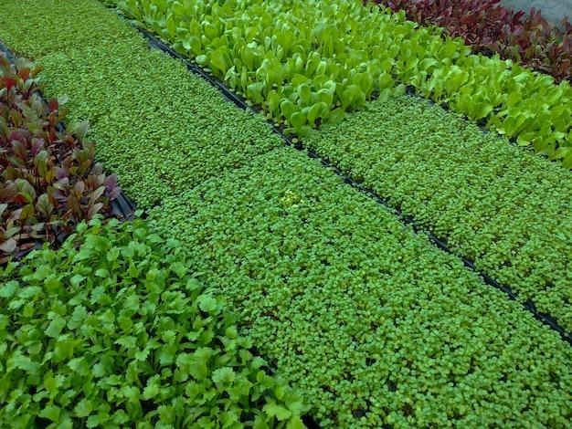 Kleine zaailingen van groenten om te planten
