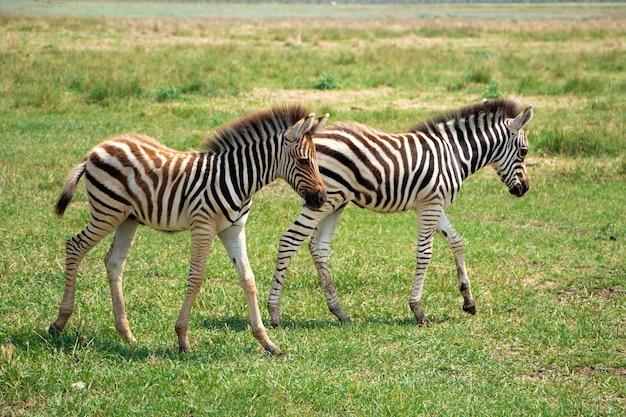 Kleine zebrakinderen spelen in de savanne wilde zebra's in het biosfeerreservaat