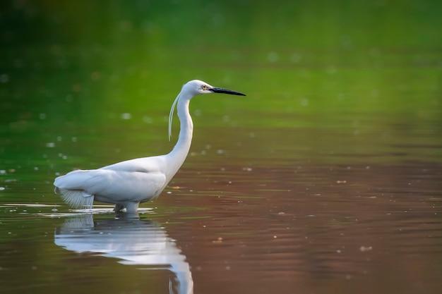 Kleine zilverreiger (egretta garzetta) op zoek naar voedsel in het moeras. vogel. dieren.