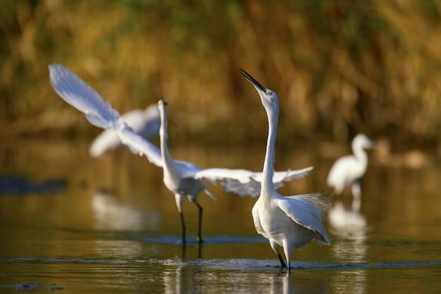 Kleine zilverreiger (egretta garzetta), paringsdans van twee vogels.