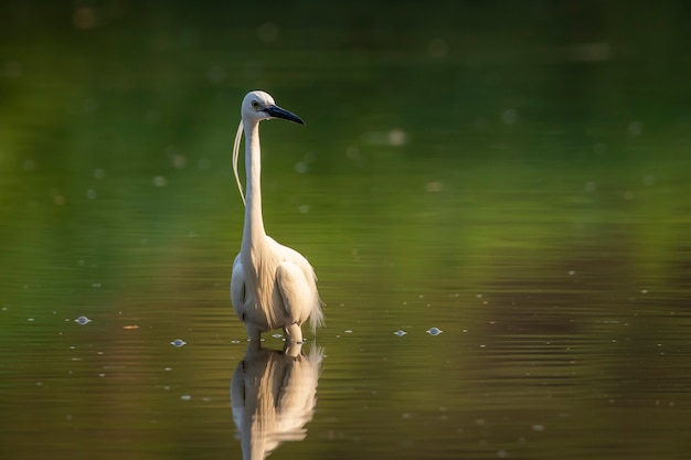 Kleine zilverreiger op zoek naar voedsel in het moeras