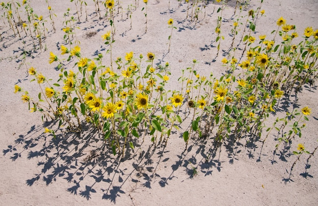 Kleine zonnebloembloemen groeien op het zand. fel zonlicht.