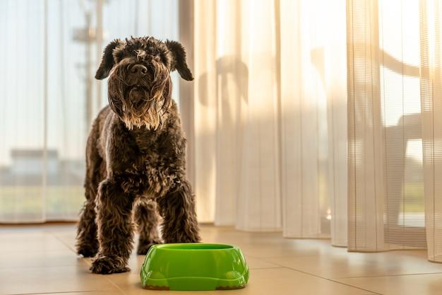 Kleine zwarte hond in het huis in de buurt van een kom met water of voedsel