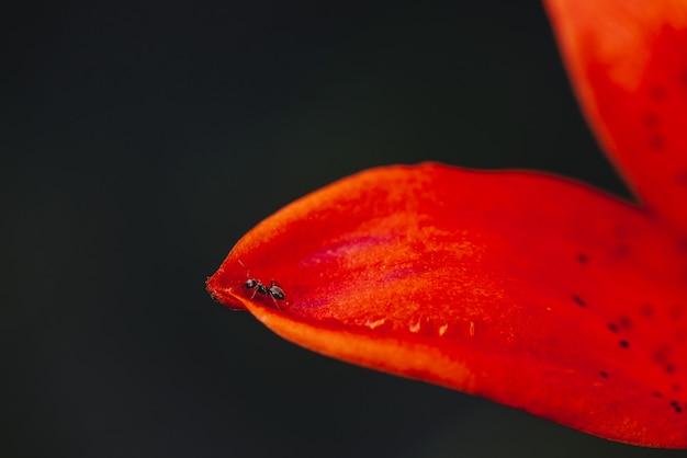 Kleine zwarte mier op rand van rode oranje bloemblaadje dichte omhooggaand
