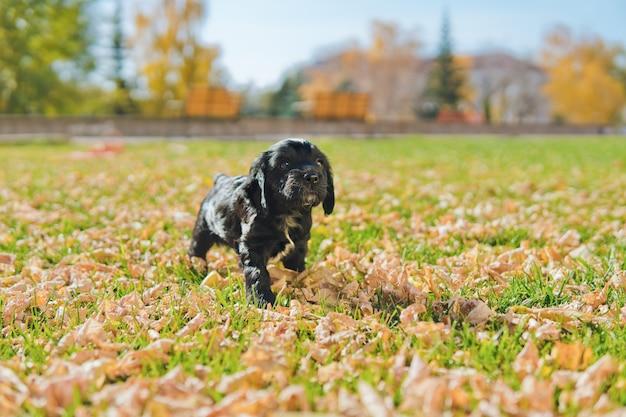 Kleine zwarte pup op het groene gazon met herfstbladeren