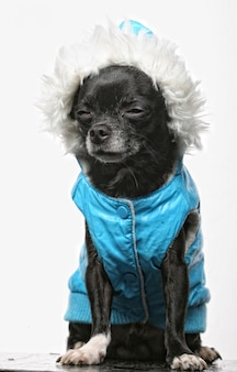Kleine zwarte puppy terriër