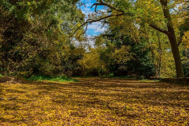 Kleuren van de herfst. goudgele en bruine bladeren bedekken de grond onder de bomen.