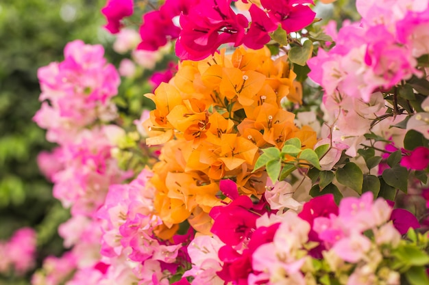 Kleurrijk bougainvillea-decor in tuin