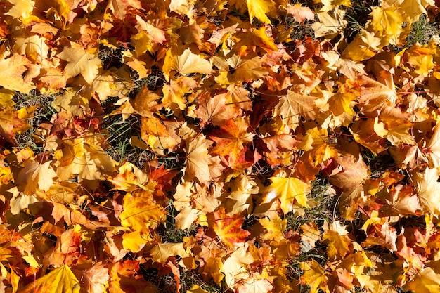 Kleurrijk gebladerte van omgevallen bomen en liggend op de grond in een gemengd bos, het herfstseizoen bij zonnig weer