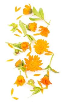 Kleurrijk helder patroon van oranje calendulabloemen op witte achtergrond. plat lag, top uitzicht, natuurlijke achtergrond