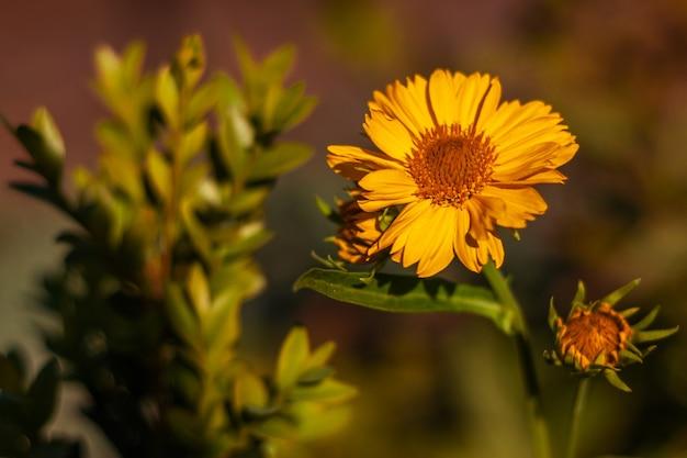 Kleurrijk openlucht bloemenmacrobeeld van een gele bloeiende valse zonnebloemheliopsis