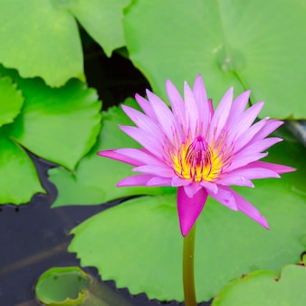 Kleurrijk van een lotus.