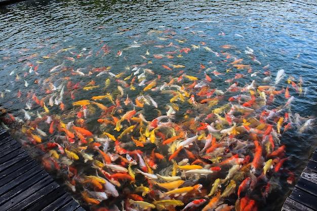 Kleurrijk van koi-ambachtvissen die in een meer, abstracte onduidelijk beeldachtergrond zwemmen