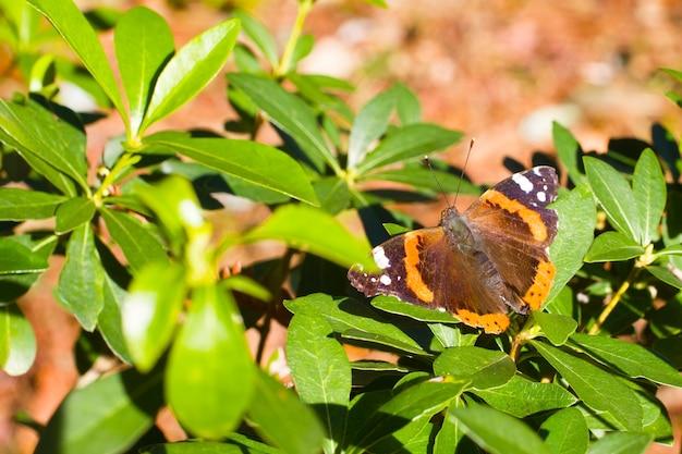Kleurrijke admiraal vanessa atalanta. de vlinder is roodoranje van kleur.