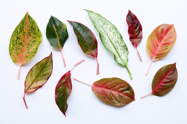 Kleurrijke aglaonema-bladeren die op wit worden geïsoleerd
