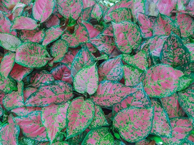 Kleurrijke aglaonema-planten in de tuin gebruiken als. gemeenschappelijke naam: aglaonema wetenschappelijke naam: aglaonema sp. familie: araceae