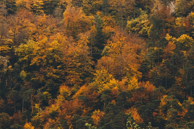 Kleurrijke atumun-achtergrond van pijnbomen met gouden en oranje bladeren