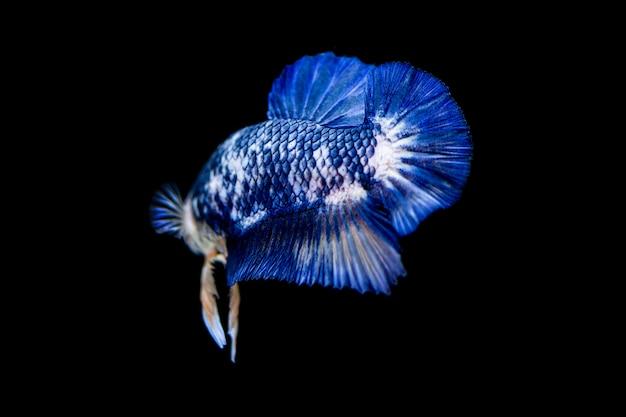 Kleurrijke betta vechten vis op zwarte achtergrond