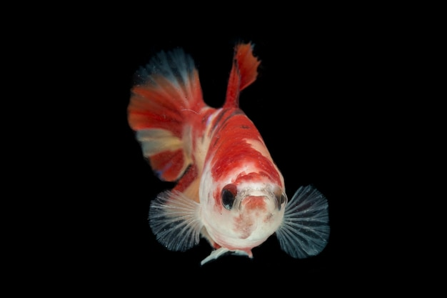 Kleurrijke betta-vissen. mooie siamese het vechten vissen, nemo gele basis die op zwart wordt geïsoleerd.