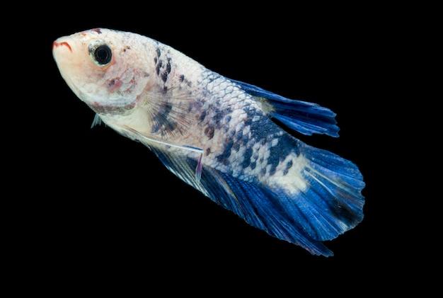 Kleurrijke betta-vissen. mooie siamese vechten vis, blauw marmer geïsoleerd op zwart.