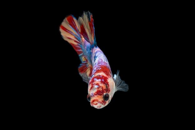 Kleurrijke betta-vissen. mooie siamese vechten vis, fancy betta splendens nemo luipaard geïsoleerd op zwart.