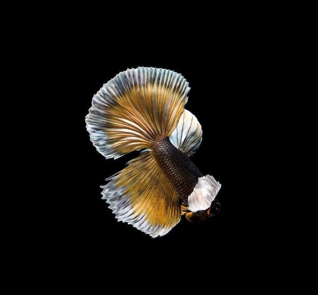 Kleurrijke betta-vissen, siamese het vechten vissen in beweging die op zwarte achtergrond wordt geïsoleerd