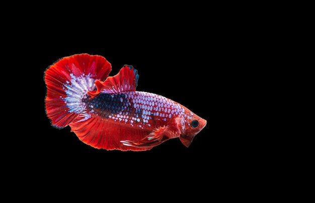 Kleurrijke bettavissen, siamese het vechten vissen in beweging die op zwart wordt geïsoleerd.