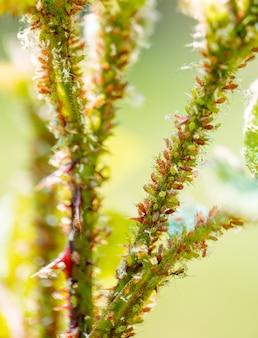 Kleurrijke bladluizen op rozen, plagen beschadigen de plant en verspreiden ziekten.