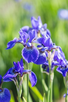 Kleurrijke blauwe en witte iris