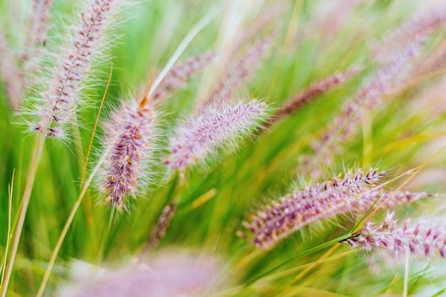 Kleurrijke bloemen in paarse spikes, paars fonteingras