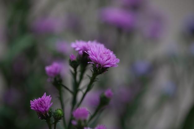 Kleurrijke bloemenchrysant met gradiënt voor achtergrond wordt gemaakt die