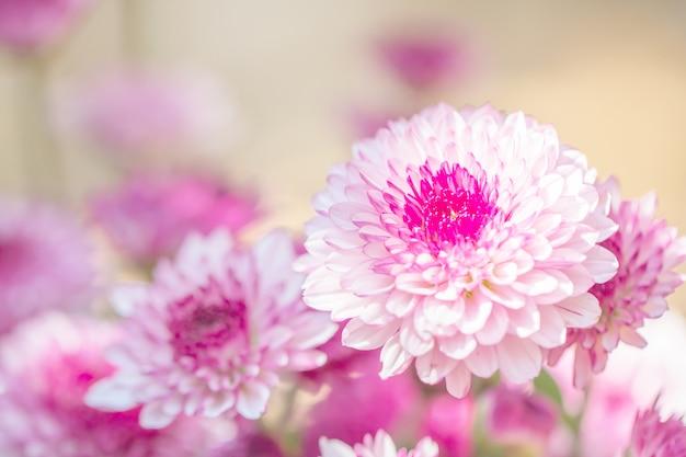 Kleurrijke bloemenchrysant voor achtergrond
