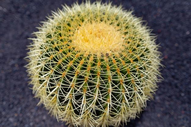 Kleurrijke cactus planten variëteiten groeien op vulkanische lavazand bodem in cactustuin in de buurt van quatiza, lanzarote, canarische eilanden, spanje.