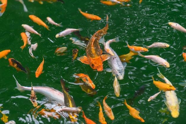 Kleurrijke decoratieve koikarpervissen drijven in een kunstmatige vijver