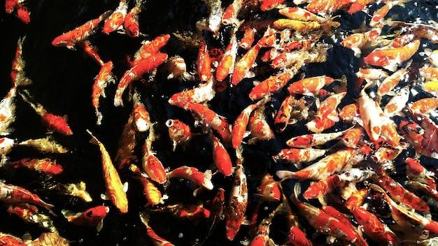 Kleurrijke fancy karpers vissen.