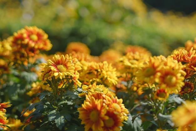Kleurrijke gele chrysanthemum bloem