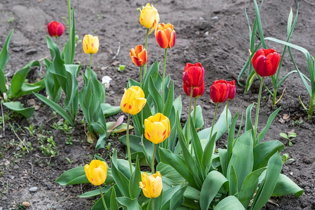Kleurrijke gele en rode tulpen groeien met groene bladeren op het perceel.