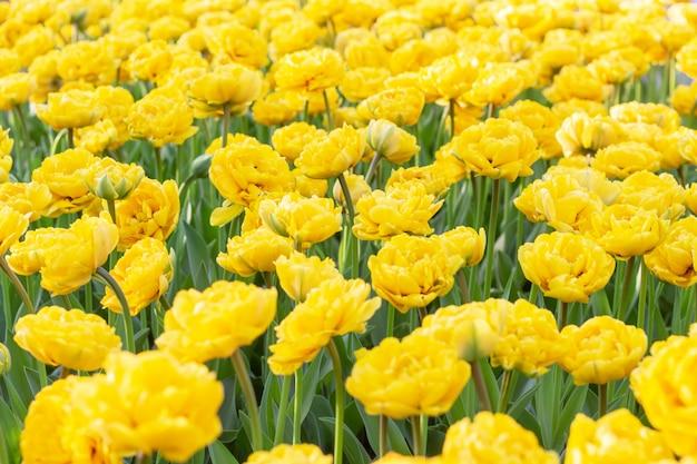 Kleurrijke gele van tulpen verse bloemen dichte omhooggaand als achtergrond