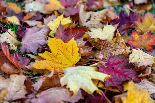 Kleurrijke gevallen bladeren die op de grond in het park liggen, mooie de herfst openluchtachtergrond, selectieve nadruk