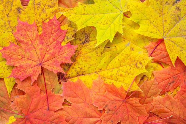 Kleurrijke gevallen herfst esdoorn bladeren